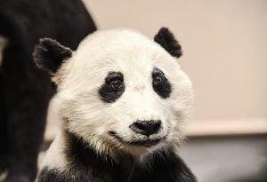 شكل الباندا