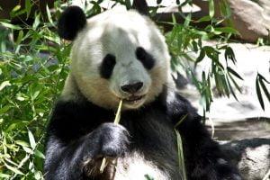 طعام حيوان الباندا