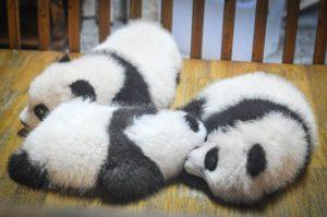 صغار حيوان الباندا