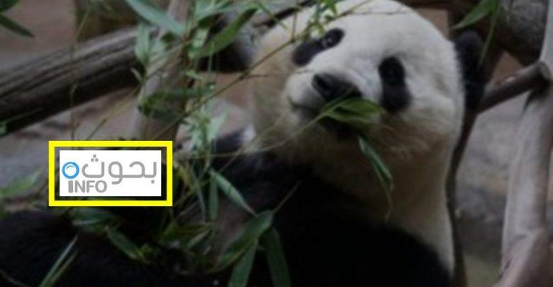 بحث حول الباندا