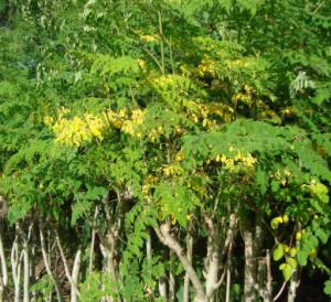 شجر المورينجا