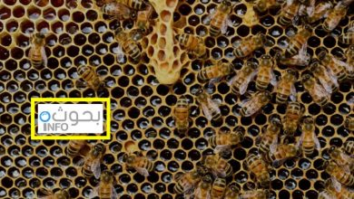 بحث حول النحل