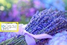 نباتات عطرية طاردة للحشرات