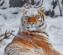 نمر سيبيريا